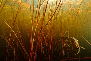 Crested newt (Triturus cristatus carnifex) male and female courtship underwater, Burgundy. France, April.  -  Cyril Ruoso