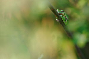 Common tree frog (Hyla arborea) resting on branch in day, Burgundy, France, April. - Cyril Ruoso