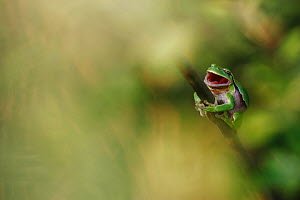 Common tree frog (Hyla arborea) yawning on willow branch during day time. Burgundy, France, April. - Cyril Ruoso