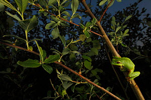 Common tree frog (Hyla arborea) on willow branch at dusk. Burgondy, France, April. - Cyril Ruoso
