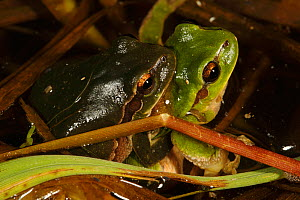 Common tree frog (Hyla arborea) pair in amplexus, Burgundy. France, April. - Cyril Ruoso