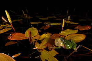 Common tree frog (Hyla arborea) male calling at night with inflated vocal sac. Burgundy, France, April. - Cyril Ruoso