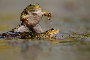 Marsh frog (Pelophylax / Rana ridibundus) breeding season interaction between males. Burgundy, France, May.  -  Cyril Ruoso