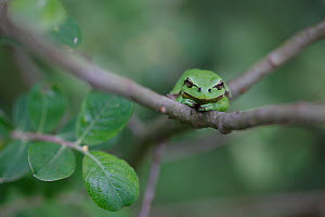 Common tree frog (Hyla arborea) on branch, Burgundy. France, April. - Cyril Ruoso