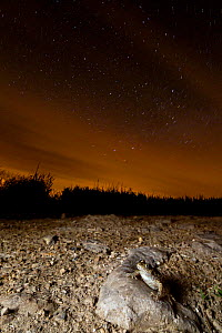 Midwife toad (Alytes obstetricans) at night with stars. Burgundy, France, May.  -  Cyril Ruoso