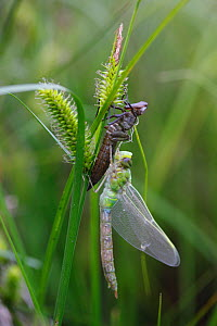 Emperor dragonfly (Anax imperator) adult male freshly emerged from larval case. Burgundy. France, April. - Cyril Ruoso