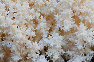 Coral tooth fungus (Hericium coralloides) Alberes mountains, Pyrenees, France. September.  -  Cyril Ruoso
