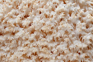 Coral tooth fungus (Hericium coralloides), Alberes Mountains, Pyrenees, France, October.  -  Cyril Ruoso