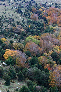 Woodland scene from above with Holly (Ilex aquilfolium) colonizing meadow, Alberes Mountains, Pyrenees, France, October 2011. - Cyril Ruoso
