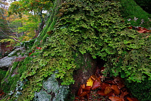 Tree lungwort (Lobaria pulmonaria) lichen in ancient forest,, Alberes Mountains. Massane reserve, Pyrenees, France, November.  -  Cyril Ruoso