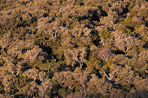 Cork oak tree (Quercus suber) forest, Alberes Mountains, Pyrenees, Catalonia, Spain, February.  -  Cyril Ruoso