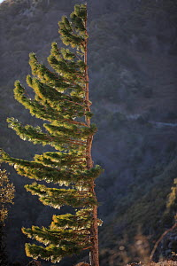Pine tree shaped by prevailing wind in the Alberes Mountains, Pyrenees, Spain. - Cyril Ruoso