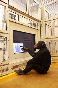 Chimpanzee (Pan troglodytes) in facial recognition experiment, Tokyo University, Japan  -  Cyril Ruoso