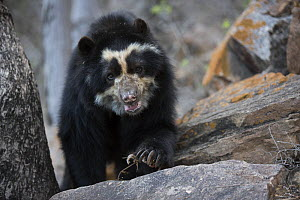 Spectacled bear (Tremarctos ornatus) Chaparri Ecological Reserve, Peru - Cyril Ruoso