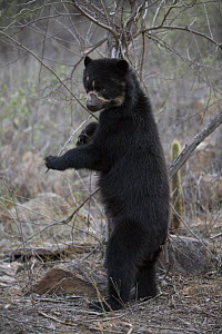 Spectacled bear (Tremarctos ornatus) standing on hind legs, Chaparri Ecological Reserve, Peru - Cyril Ruoso