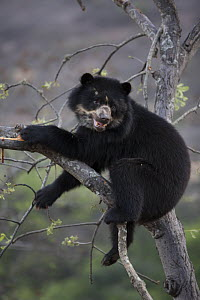 Spectacled bear (Tremarctos ornatus) up tree, Chaparri Ecological Reserve, Peru - Cyril Ruoso