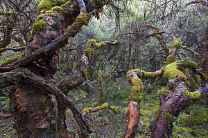 Polylepis forest in Cordillera Blanca, Andes, Peru  -  Cyril Ruoso
