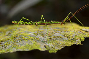 Phasme / Walking stick insect, unknown species, 1000m altitude, Tarapoto, Amazon, Peru  -  Cyril Ruoso