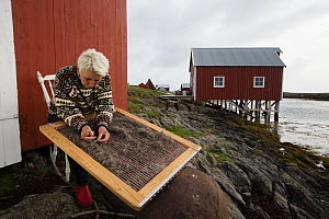 Hildegunn Nordum using traditional harp tool to clean down collected from nests of Common eider (Somateria mollissima) Lanan Island, Vega Archipelago, Norway June  -  Cyril Ruoso