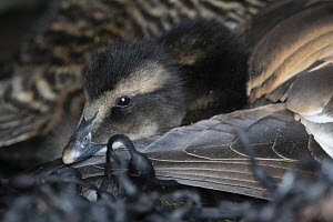 Common eider (Somateria mollissima) duckling in the nest, down is collected from duck nests in specific shelters, Lanan Island. Vvega archipelago, Norway June  -  Cyril Ruoso