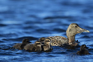 Common eider (Somateria mollissima) female swimming on sea with ducklings, down is collected from wild ducks on Lanan Island, Vega Archipelago, Norway June  -  Cyril Ruoso