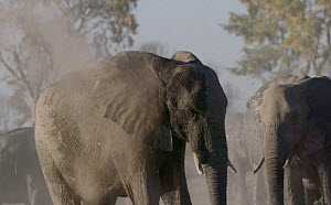 Slow motion clip of an African elephant (Loxodonta africana) dust bathing, Mababe, Botswana.  -  Sean Viljoen