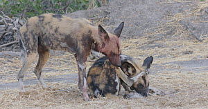 Two African wild dogs (Lycaon pictus) grooming each other, Khwai River, Moremi Game Reserve, Botswana.  -  Sean Viljoen