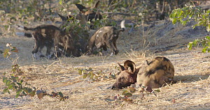 African wild dog (Lycaon pictus) sleeping, with puppies playing in the background, Khwai River, Moremi Game Reserve, Botswana.  -  Sean Viljoen