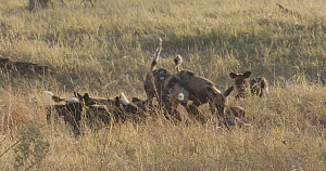 African wild dogs (Lycaon pictus) playing with puppies, Khwai River, Moremi Game Reserve, Botswana.  -  Sean Viljoen