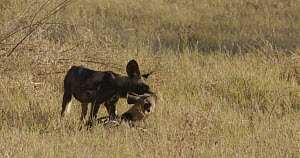 African wild dogs (Lycaon pictus) greeting, with others walking past, Khwai River, Moremi Game Reserve, Botswana.  -  Sean Viljoen