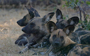 Slow motion clip of African wild dogs (Lycaon pictus) resting, looking around, Khwai River, Moremi Game Reserve, Botswana.  -  Sean Viljoen