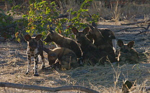 Slow motion clip of African wild dog (Lycaon pictus) pups playing, one carrying a stick, Khwai River, Moremi Game Reserve, Botswana.  -  Sean Viljoen