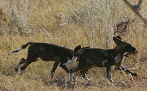 Slow motion clip of African wild dog (Lycaon pictus) pups playing, one running with a bit of food in its mouth, Khwai River, Moremi Game Reserve, Botswana.  -  Sean Viljoen