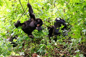 Young Mountain gorilla swinging on liana and smiling in forest (Gorilla beringei beringei) Virunga National Park, Democratic Republic of Congo, Africa. Sequence 1 of 5 - Eric Baccega