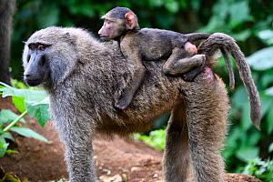 Olive baboon (Papio cynocephalus anubis)  mother carrying young on back. Virunga National Park, North Kivu, Democratic Republic of Congo, Africa - Eric Baccega