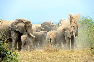 African elephant herd taking a dust bath (Loxodonta africana) Queen Elizabeth National Park, Uganda, Africa  -  Eric Baccega
