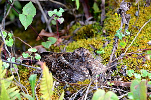 Nightjar  (Caprimulgus europaeus) female on nest. Virunga National Park, North Kivu, Democratic Republic of Congo, Africa  -  Eric Baccega