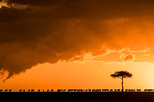 Blue wildebeest (Connochaetes taurinus), migrating herd silhouetted on the horizon at sunset, Masai Mara Game Reserve,  Kenya - Denis-Huot