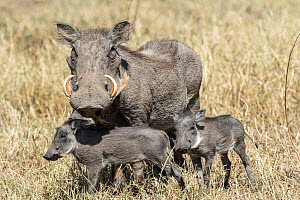 Warthog (Phaecochoerus aethiopicus), female and young pigets, Masai Mara Game Reserve, Kenya - Denis-Huot