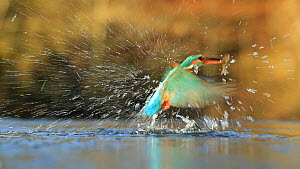 Slow motion clip of a Common kingfisher (Alcedo atthis) catching a fish, Scotland, UK, January.  -  Andy Rouse