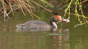 Great crested grebe (Podiceps cristatus) catching a Roach (Rutilus rutilus), Cardiff, Wales, UK, March. - Andy Rouse