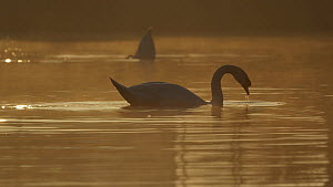 Mute swan (Cygnus olor) feeding at dawn, Cardiff, Wales, UK, March.  -  Andy Rouse