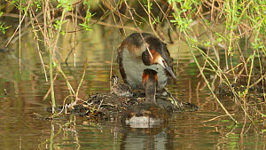 Great crested grebe (Podiceps cristatus) getting off its nest, Cardiff, Wales, UK, March. - Andy Rouse