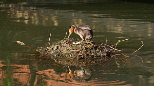 Great crested grebe (Podiceps cristatus) getting on floating nest, Cardiff, Wales, UK, March. - Andy Rouse
