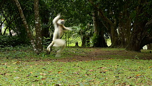 Verreaux's sifaka (Propithecus verreauxi) jumping across the ground, Madagascar.  -  Andy Rouse
