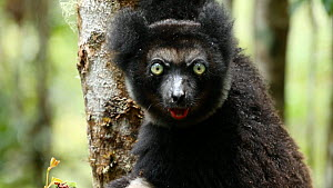 Indri (Indri indri) looking at camera, Madagascar. - Andy Rouse