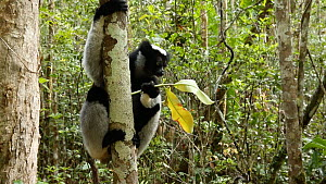 Indri (Indri indri) feeding in jungle, Madagascar. - Andy Rouse