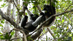 Indris (Indri indri) playing in a tree, Madagascar. - Andy Rouse