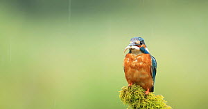 Common kingfisher (Alcedo atthis) landing on post in rain and eating fish, shakes feathers and flies off, Scotland, UK, July.  -  Andy Rouse