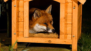 Red fox (Vulpes vulpes) resting in a dog kennel, Birmingham, England, UK, February.  -  Steve Downer